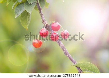 Red and sweet cherries in early summer Australia, cherries on th