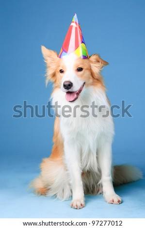 Red and white border collie in studio, Happy birthday - stock photo