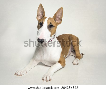 Red and white bull terrier puppy - stock photo