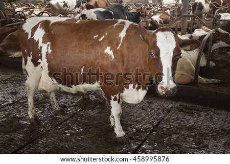 red and white cow stands in farm barn with a lot of other cows in the background - stock photo