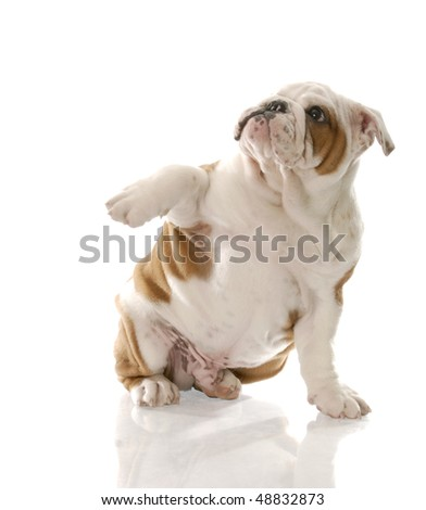 red and white english bulldog puppy looking afraid with reflection on white background - stock photo