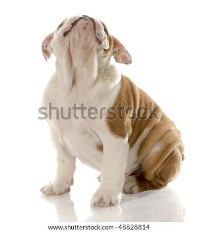 red and white english bulldog puppy looking up with reflection on white background