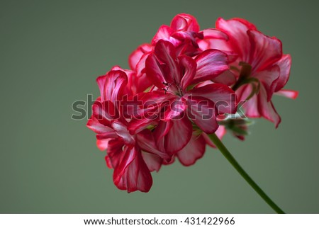 Red and white flower on a green background