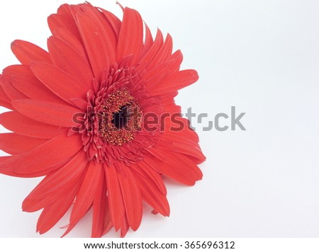 Red and white gerbera on white background