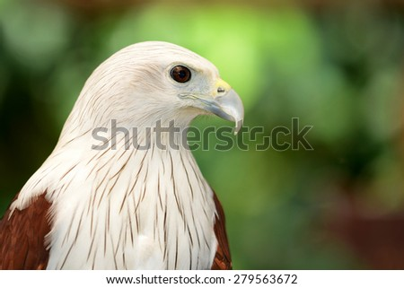 Red and White Hawk head and eye close-up - stock photo