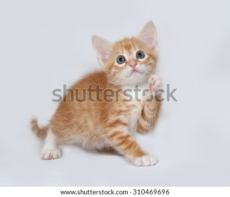 Red and white kitten playing on gray background