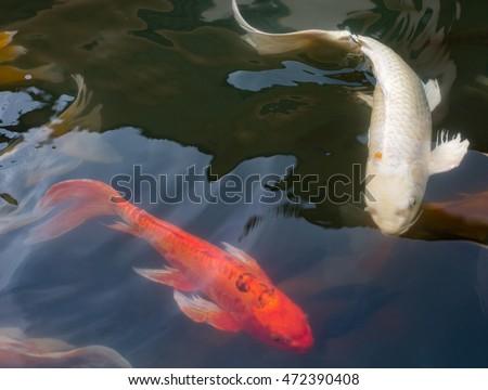Red white koi fish pond stock photo 472390408 shutterstock for Red and white koi