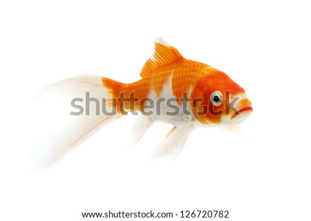 Red and white koi fish isolated on white background - stock photo