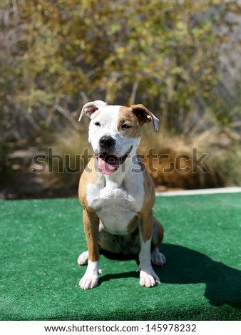 Red and White Pitbull sitting on the dock for her picture - stock photo