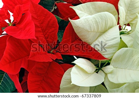 Red and white poinsettia horizontal shot