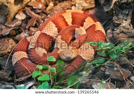 Red and white rings snake - stock photo