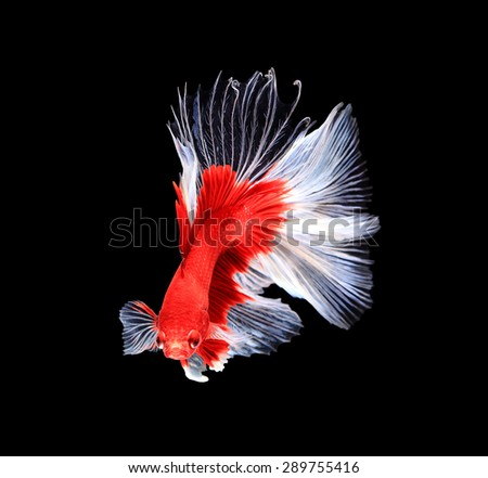 Red and white siamese fighting fish half moon , betta fish isolated on black background.  - stock photo