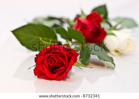 Red and Whites Roses isolated on a white background with copy-space - stock photo