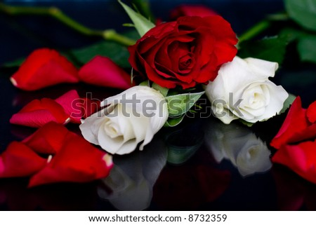 Red and Whites Roses with red rose petals isolated on a black background - stock photo