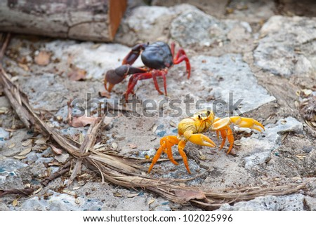 red and yellow land crabs near the Bay of Pigs, Cuba