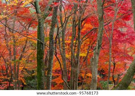 Red and yellow maple leaves in autumn - stock photo