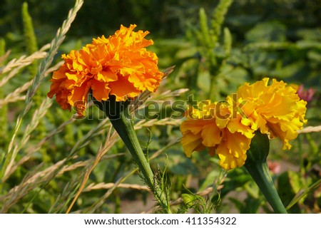 red and yellow marigolds on the green grass background - stock photo