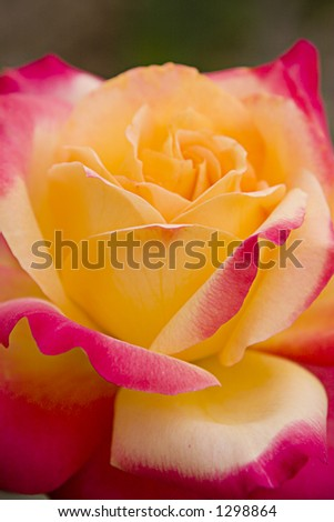 red and yellow rose 6 - stock photo