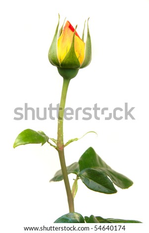 red and yellow rose bud over white - stock photo