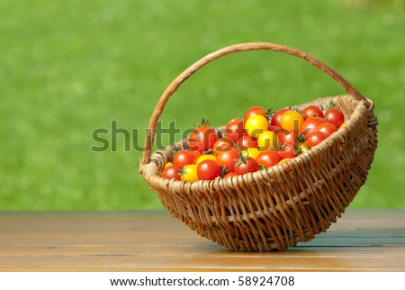 Red and yellow tomatoes in wicker basket on the garden wooden table.