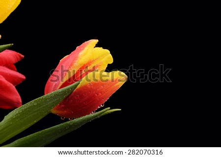 red and yellow tulip covered with water drops, close up, isolated on a black background - stock photo
