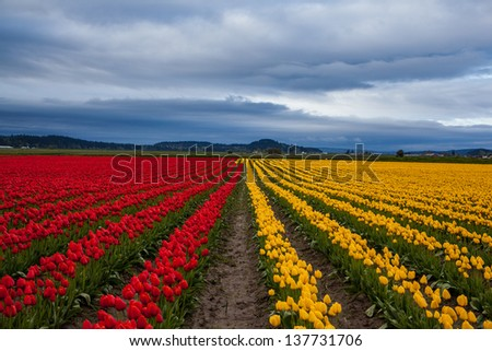 Red and yellow tulip field with beautiful sky