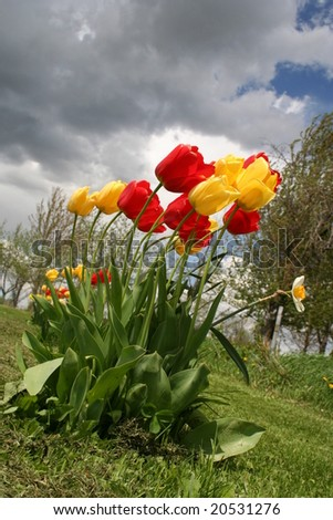 red and yellow tulips blowing in the wind - stock photo