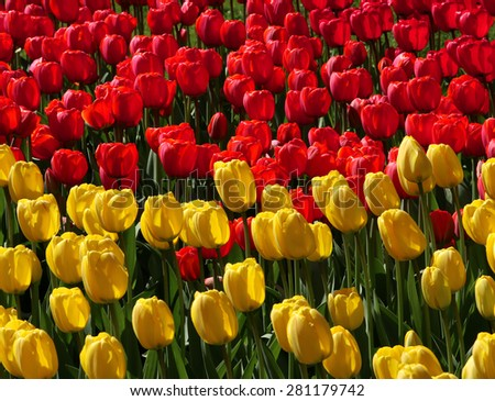 Red and yellow tulips field in garden spring background - stock photo