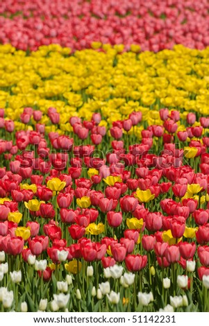 Red and yellow tulips on flower bad under sun light