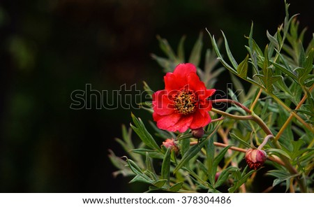 red anemone flower with blace copy space