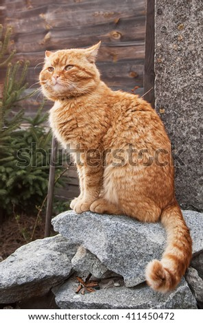 red angry cat sitting on the grey stones near christmas tree. - stock photo