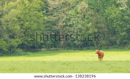 Red Angus steer in a field of green grass