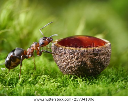 red ant and drop of honey in cup - stock photo
