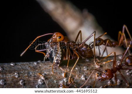 red ant carrying insect for eat - stock photo