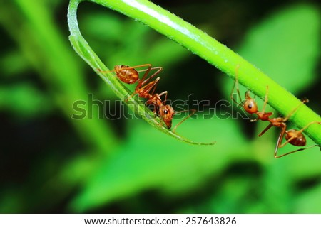 Red ant (Oecophylla smaragdina Fabricius)is of adult workers. Ants are wingless female body shape red long slender neck has contracted to build a nest. Larvae and queen ant nest defense. - stock photo