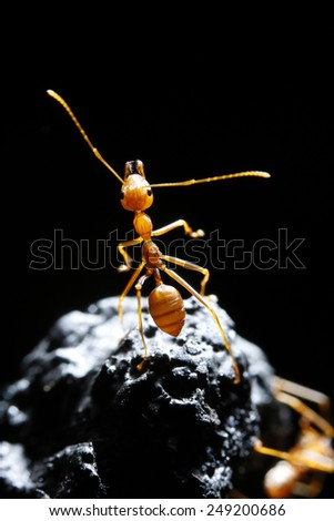 Red ant on black background - stock photo
