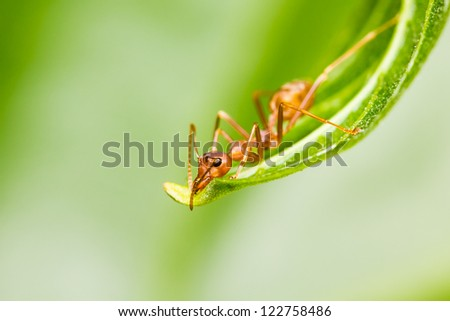 red ant on green leaf - stock photo