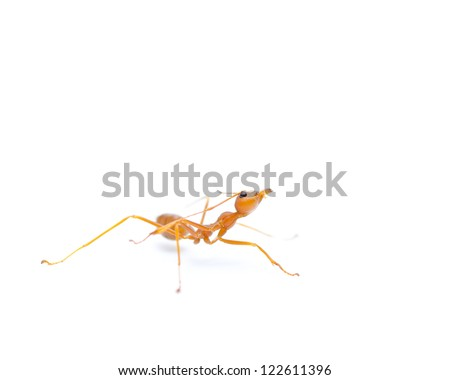 Red ant on white background. - stock photo