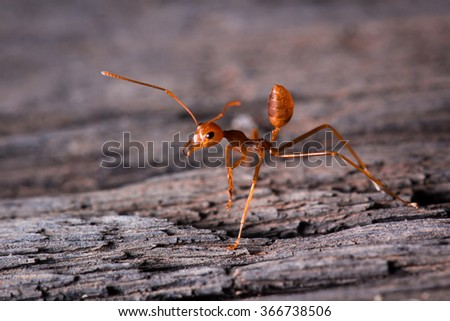 red ant ready to fight on wooden - stock photo