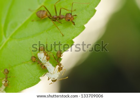 red ant still working on green leaf - stock photo