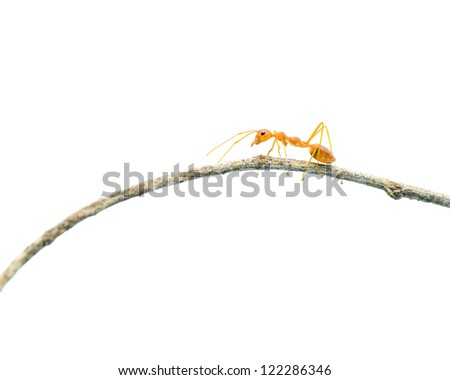 Red ant walk on the branch on white background. - stock photo