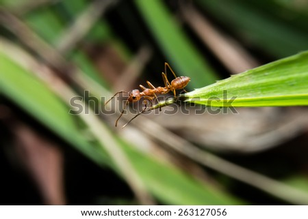Red ant walking on green leaf with close up detailed view by macro lens. - stock photo