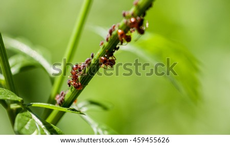 Red ant with aphid on a green stem, macro - stock photo