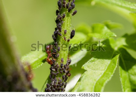 Red ant with aphids on a green stem, macro shot - stock photo