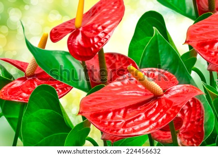 Red anthurium flower close up - stock photo