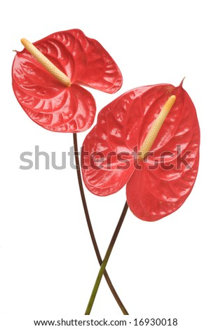 Red Anthurium flowers isolated on a white background - stock photo
