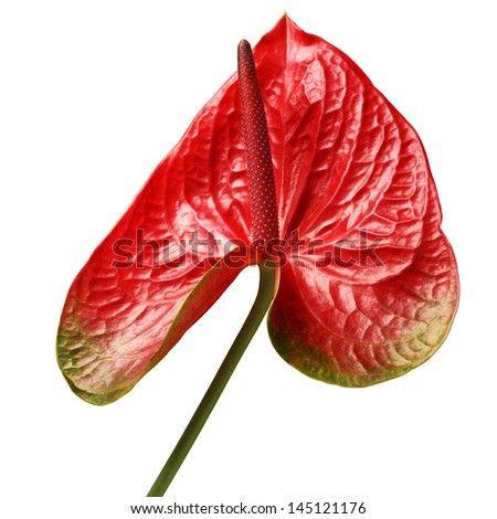Red Anthurium flowers isolated on white background