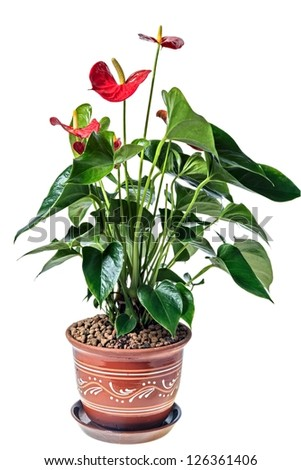 Red anthurium in a pot, isolated on white background - stock photo