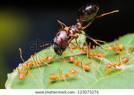 Red Ants army carrying food on green leaf - stock photo