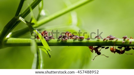 Red ants on a green stem, macro - stock photo